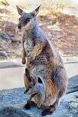 Australia_Zoology_Rock Wallaby_