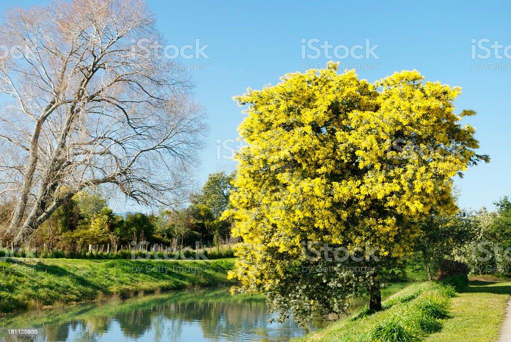 Australian Acacia trees in Blossom (Wattle Tree) royalty-free stock photo