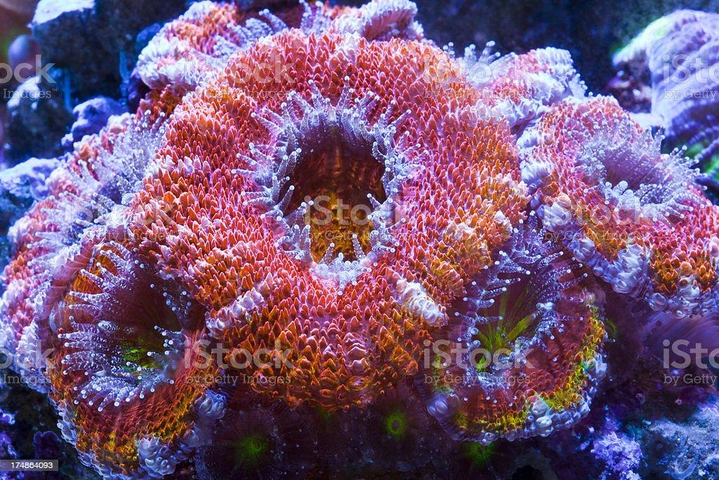 Australian Acan coral royalty-free stock photo
