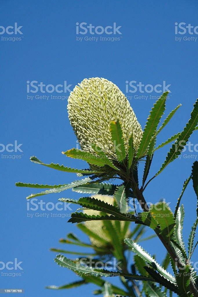 Australian Banksia flower royalty-free stock photo