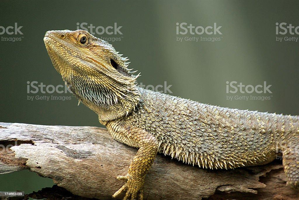 Australian Bearded Dragon (Pogona vitticeps) Lizard stock photo