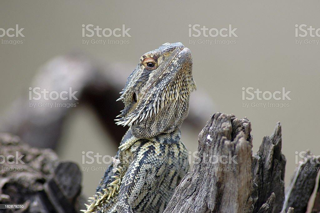 Australian Bearded Dragon sunning himself on log royalty-free stock photo