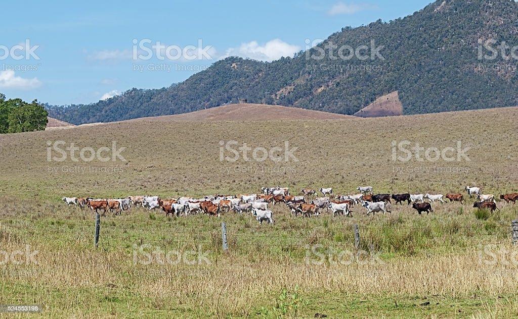 Australian beef cattle cows crossing ranch landscape stock photo