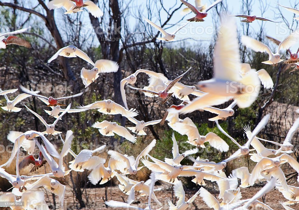 Australian Birds in Flight royalty-free stock photo