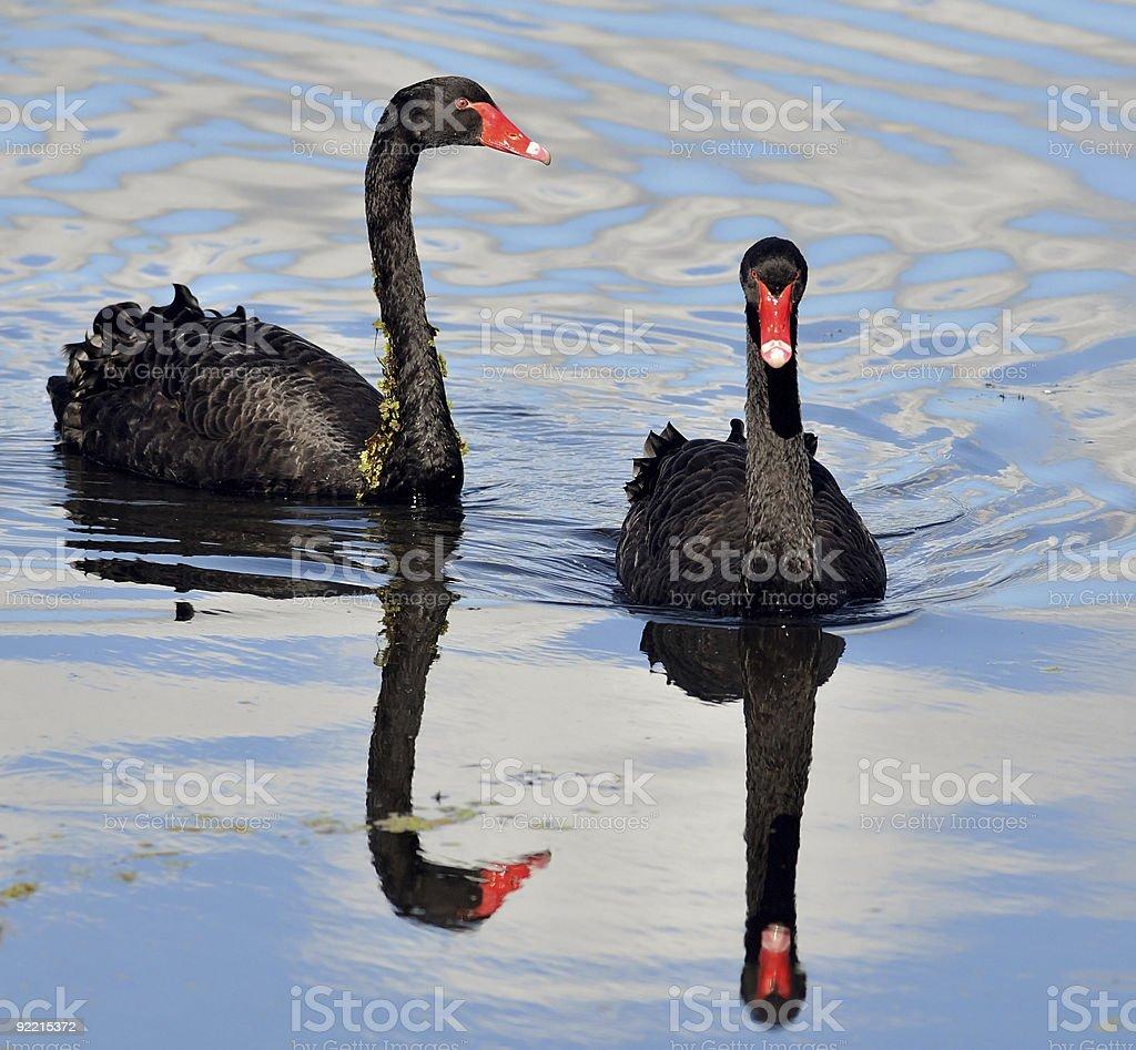 Australian black swan pair, mirrored stock photo