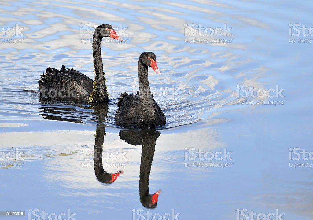 Australian black swan pair stock photo