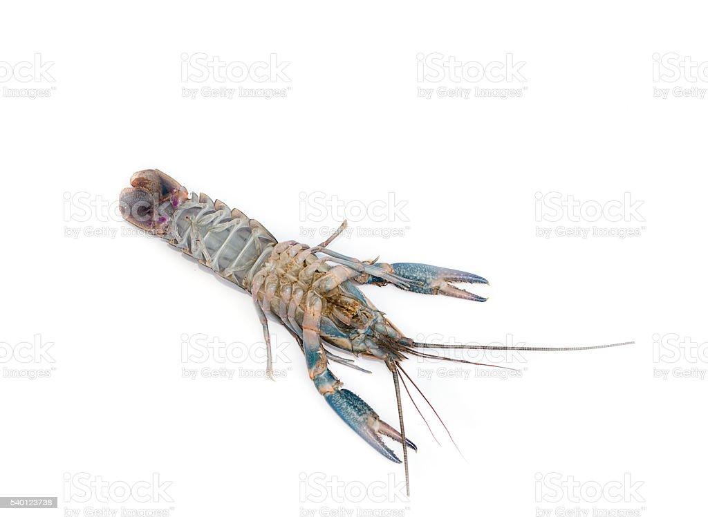 Australian blue crayfish Cherax quadricarinatus stock photo