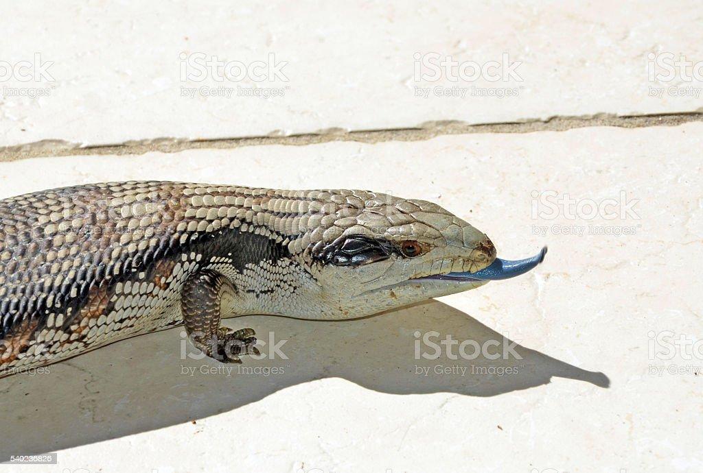 Australian Blue Tongue Lizard poking tongue out stock photo