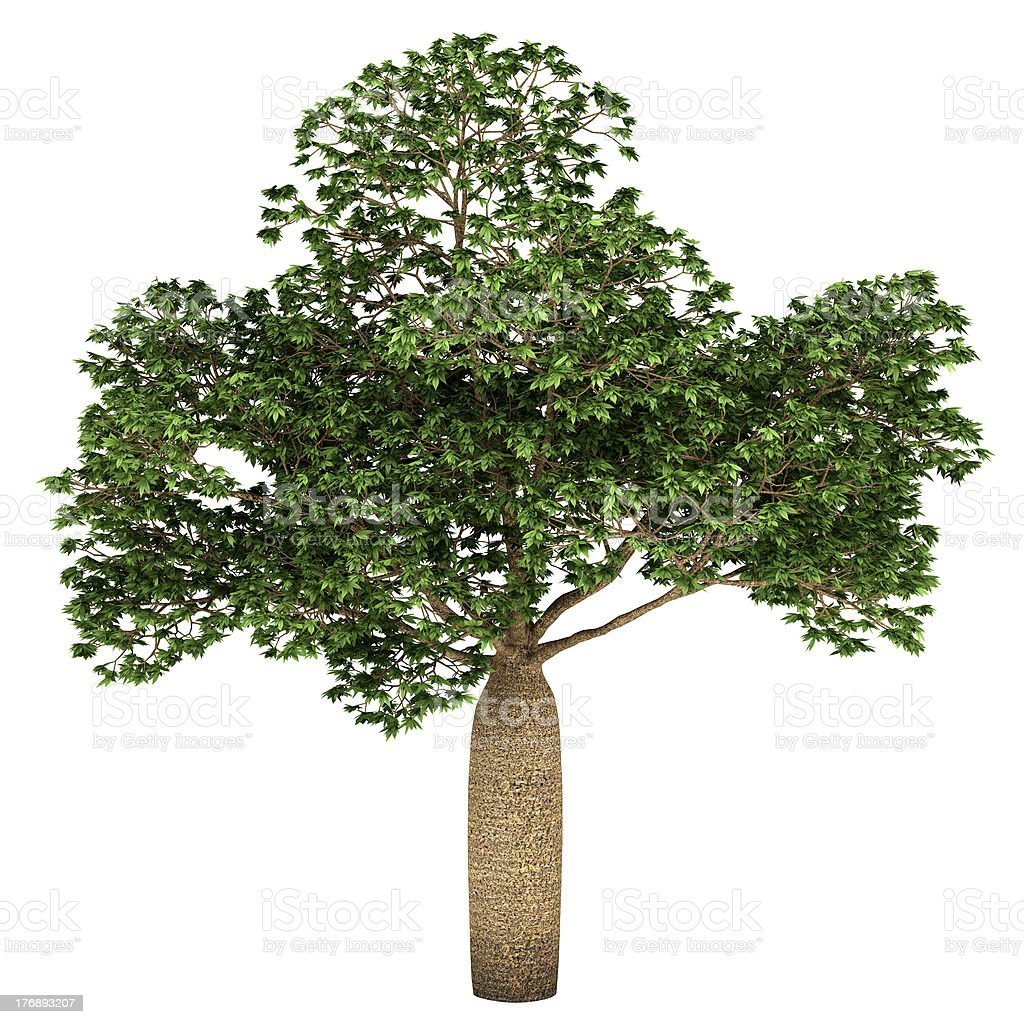 Australian Boab tree isolated on white background royalty-free stock photo