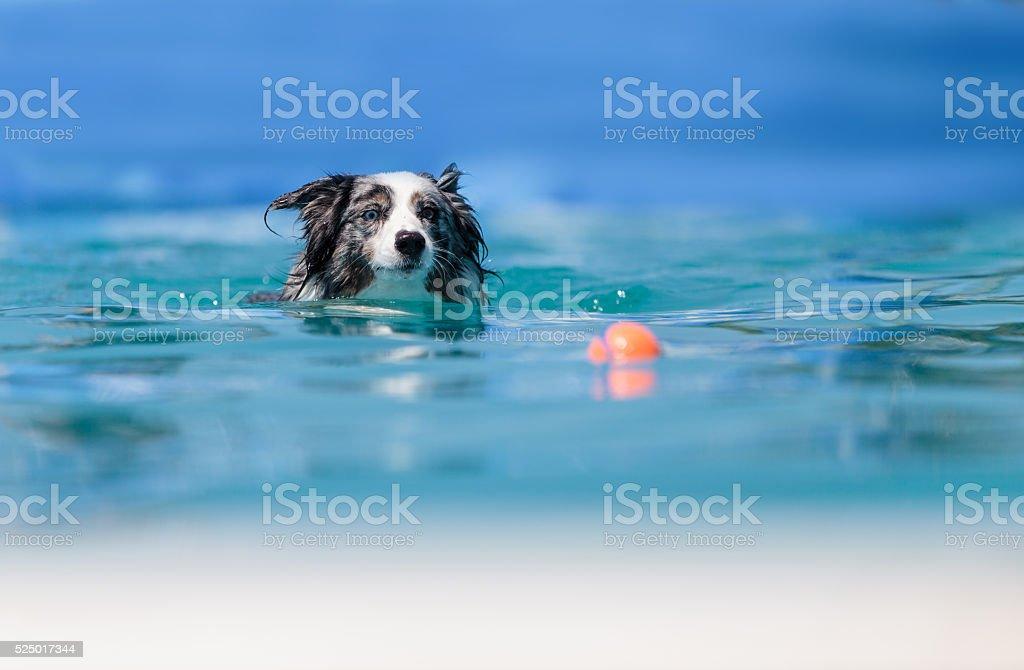 Australian border collie in a pool stock photo