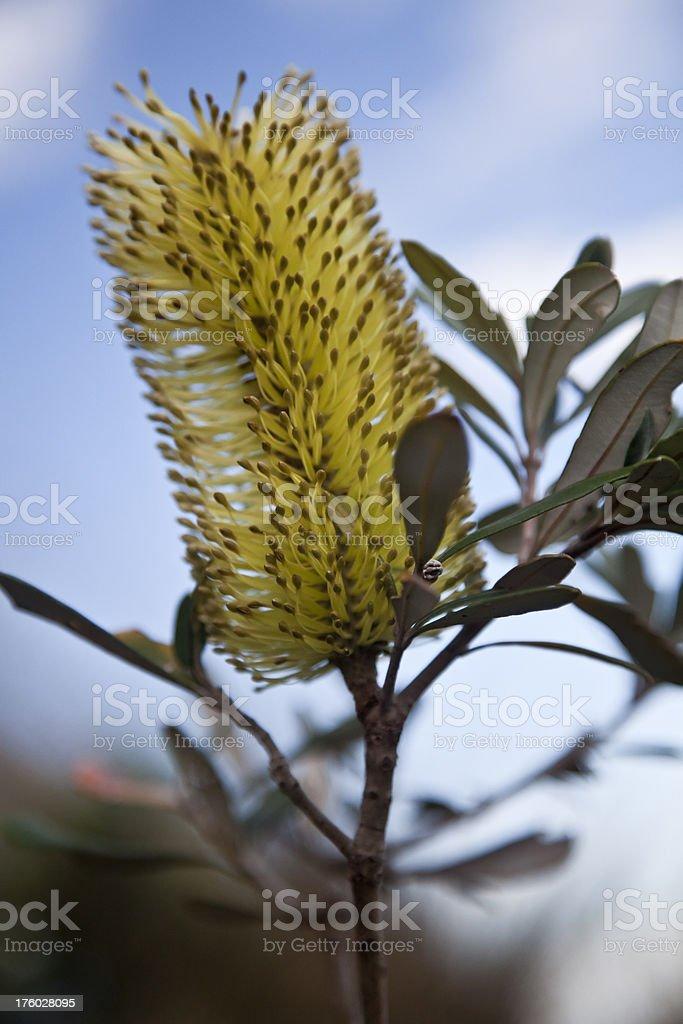 australian bush flower royalty-free stock photo
