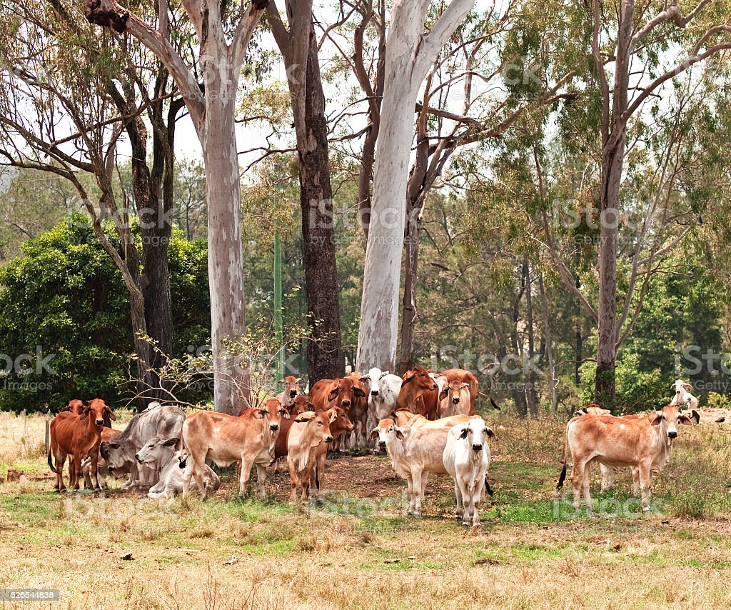 Australian cattle country herd of cows stock photo