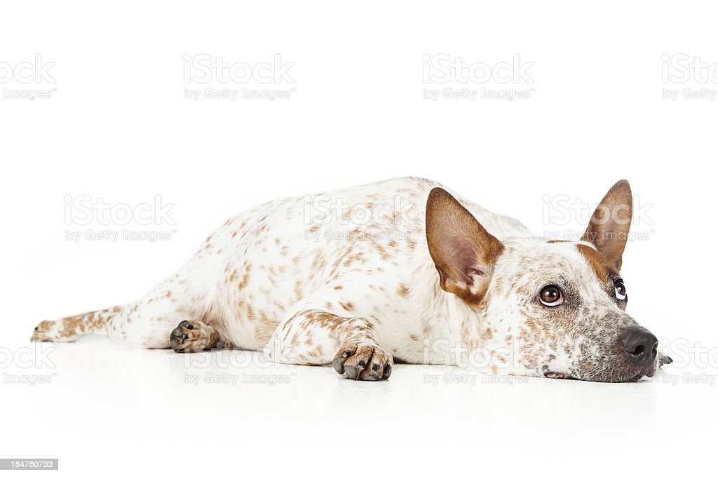 Australian Cattle Dog Laying and looking up stock photo