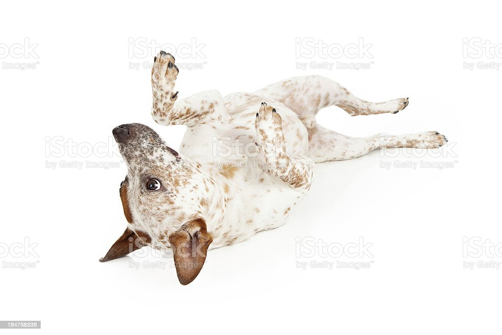 Australian Cattle Dog Laying on Back stock photo