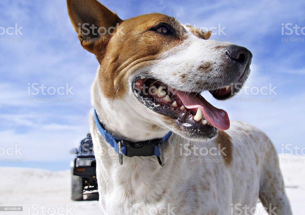 australian cattle dog on beach royalty-free stock photo
