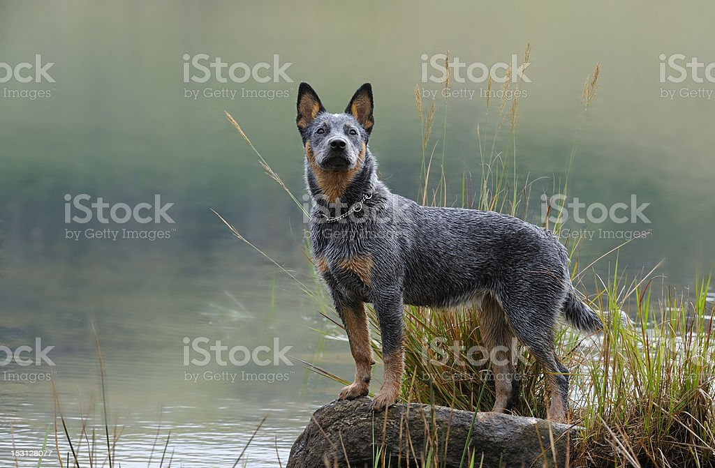 Australian Cattle Dog puppy stock photo