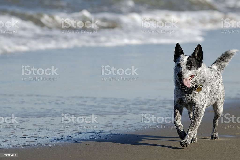 Australian cattle dog running by the Bay stock photo
