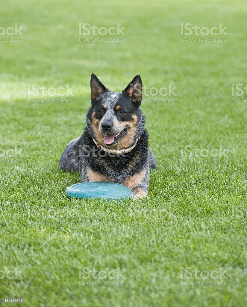 Australian Cattle Dog with toy on lawn royalty-free stock photo