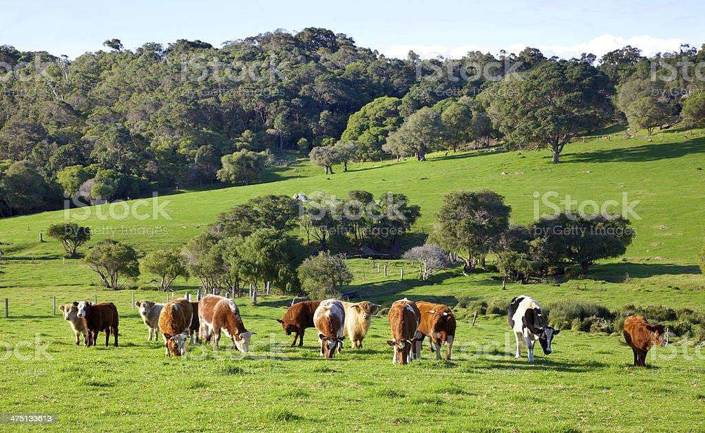 Australian Cattle Farm royalty-free stock photo