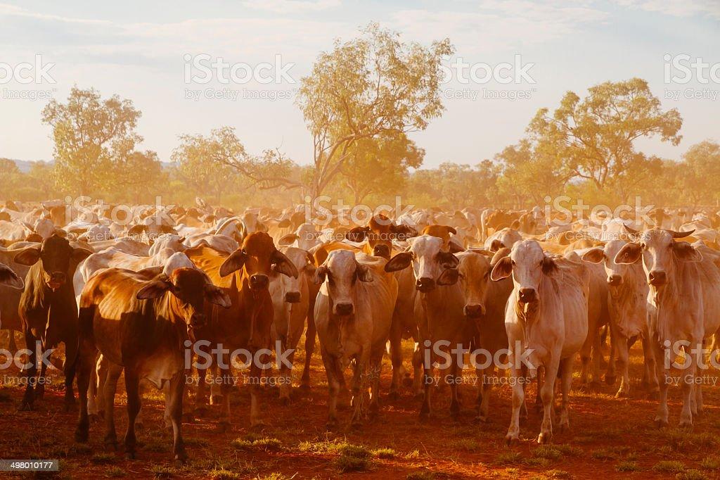 Australian Cattle stock photo