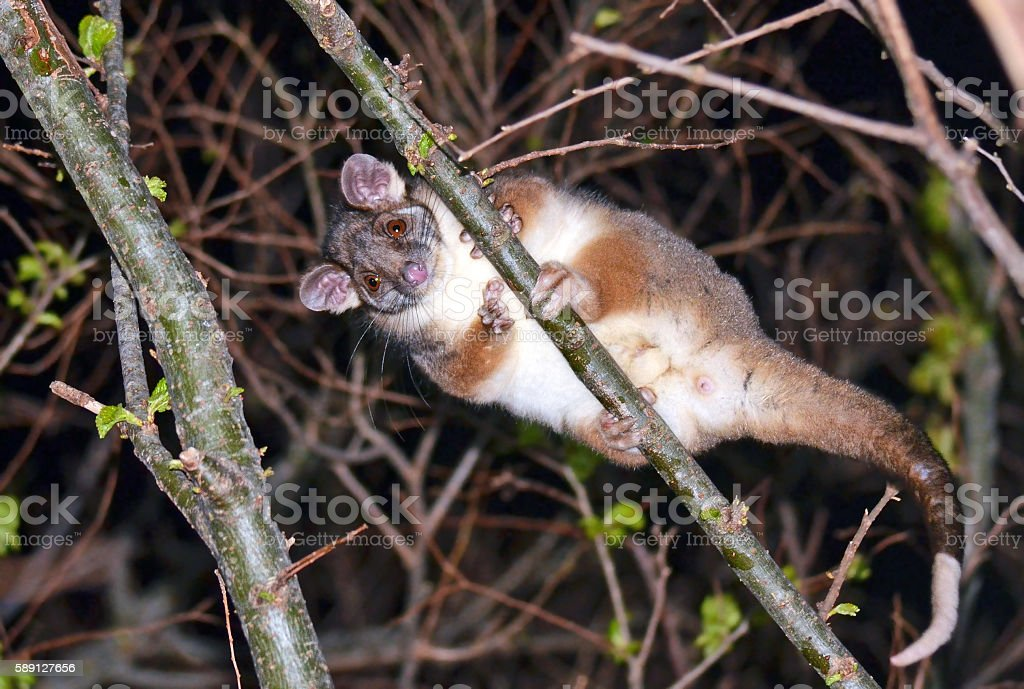 Australian Common Ringtail Possum (Pseudocheirus peregrinus) stock photo