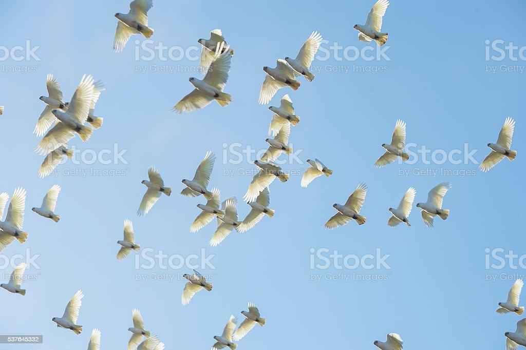 Australian Corella Parrots in flight stock photo