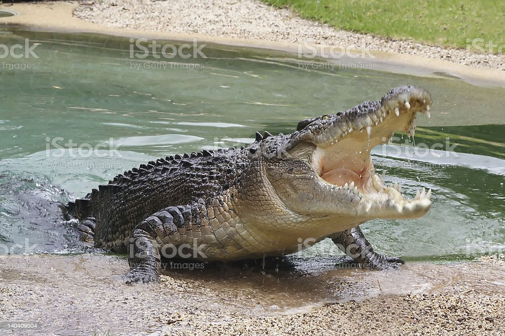 Australian Crocodile with Open Mouth stock photo