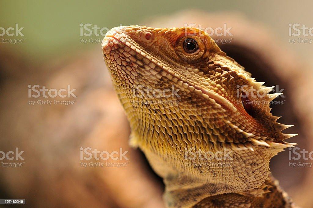 australian desert lizard stock photo