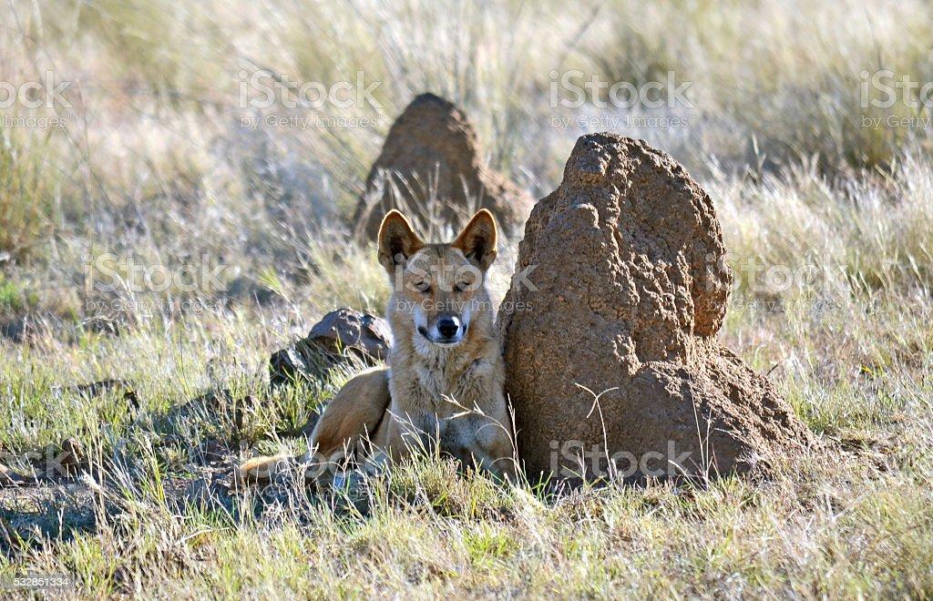 Australian Dingo resting next to a termite mound stock photo