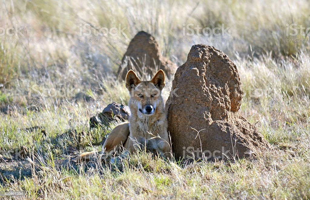 Australian Dingo resting next to a termite mound stock photo