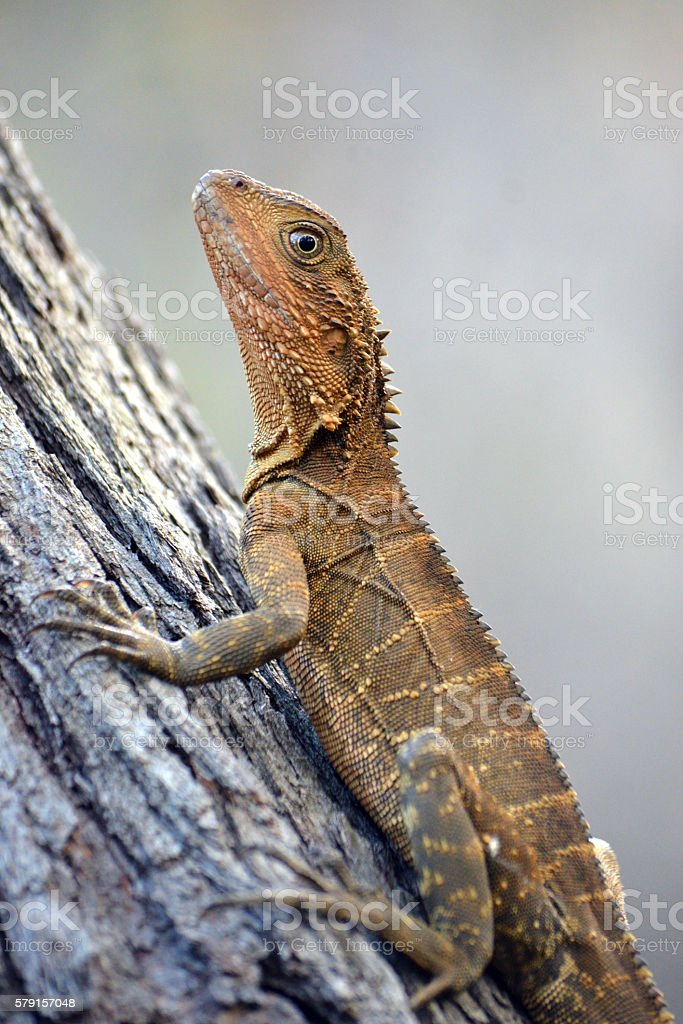 Australian Eastern Water Dragon climbing a tree stock photo