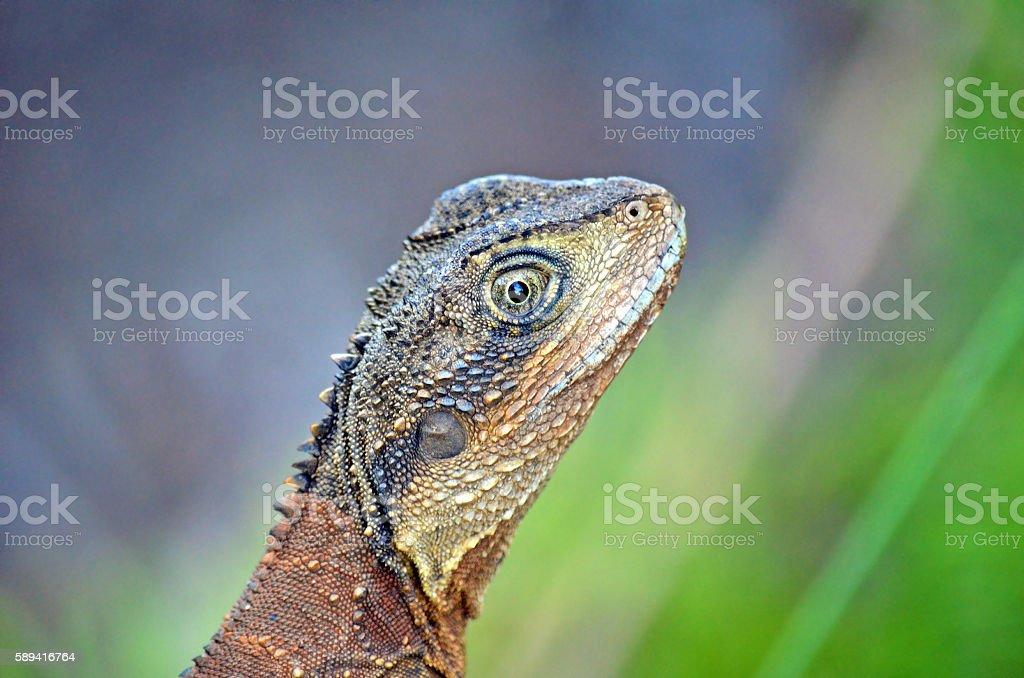 Australian Eastern Water Dragon (Itellagama lesueurii ) stock photo