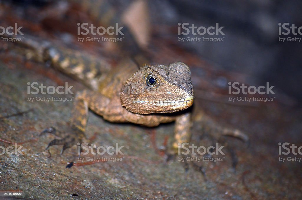 Australian Eastern Water Dragon stock photo