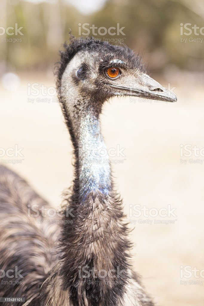 Australian Emu stock photo