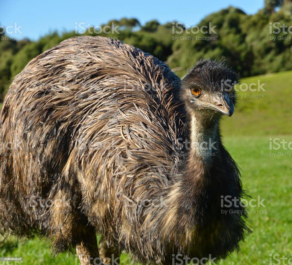 Ema australiana foto royalty-free