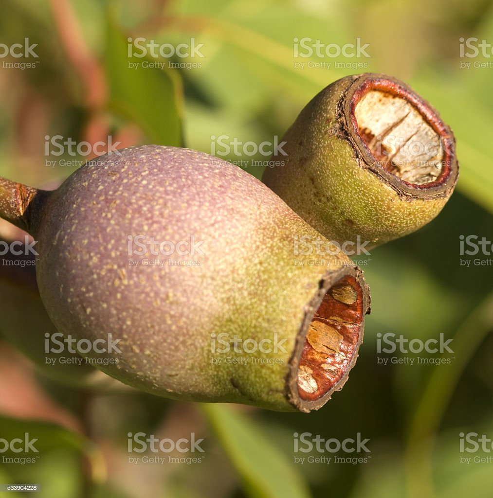 Australian eucalyptus corymbia summer red gum nuts stock photo
