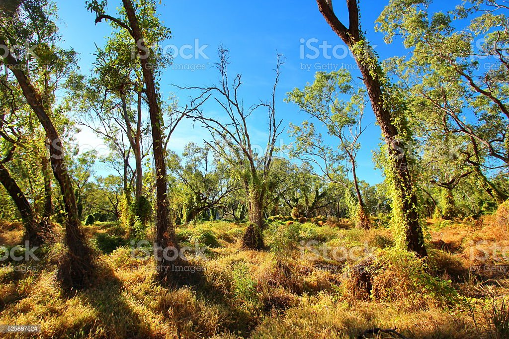 Australian forest in the Kimberley stock photo