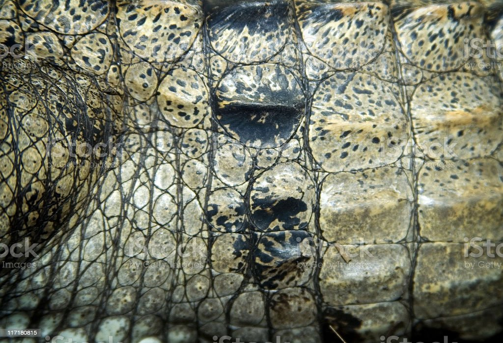 Australian freshwater crocodile royalty-free stock photo