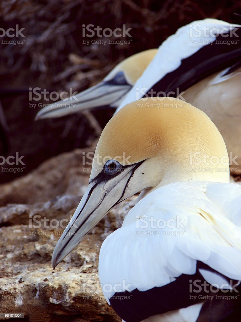 Australian Gannets in Cape Kidnappers royalty-free stock photo