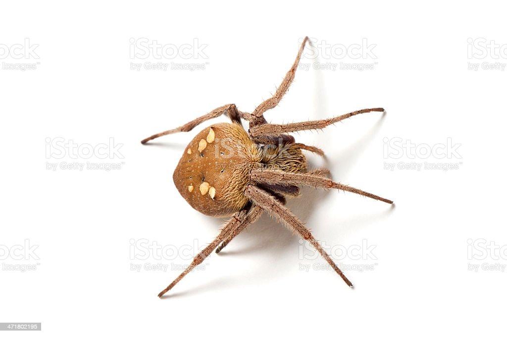 Australian garden orb weaver spider (Eriophora transmarina) isolated on white. royalty-free stock photo