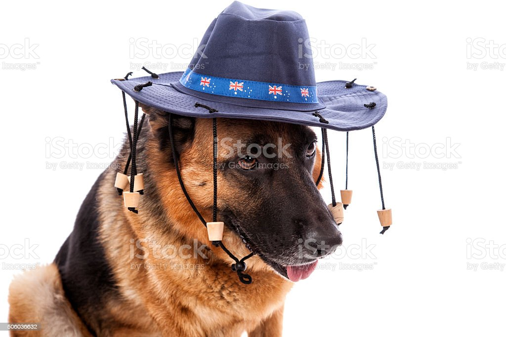 Australian German Shepherd stock photo