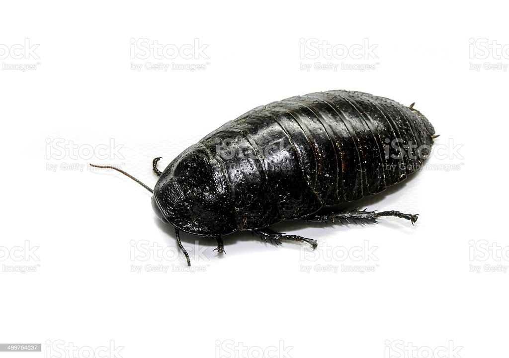 Australian giant burrowing cockroach on white background stock photo