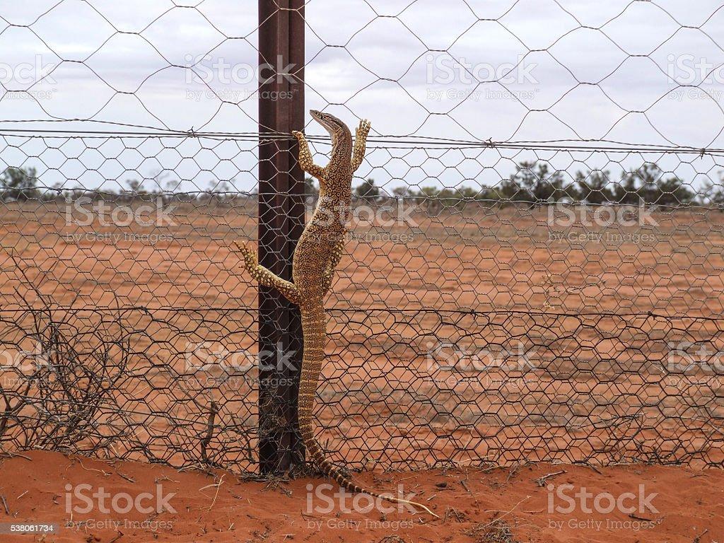 Australian goanna climbing wire fence stock photo