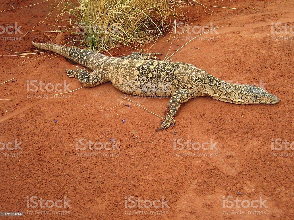 Australian Goanna stock photo
