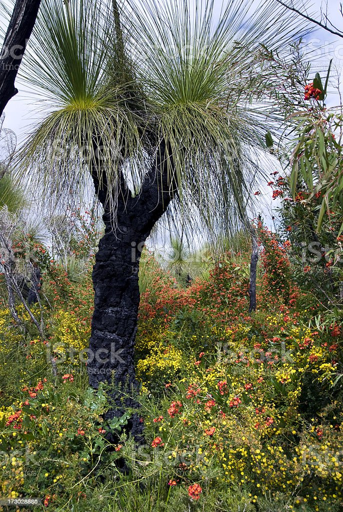 Australian GrassTree and Wildflowers in Spring stock photo
