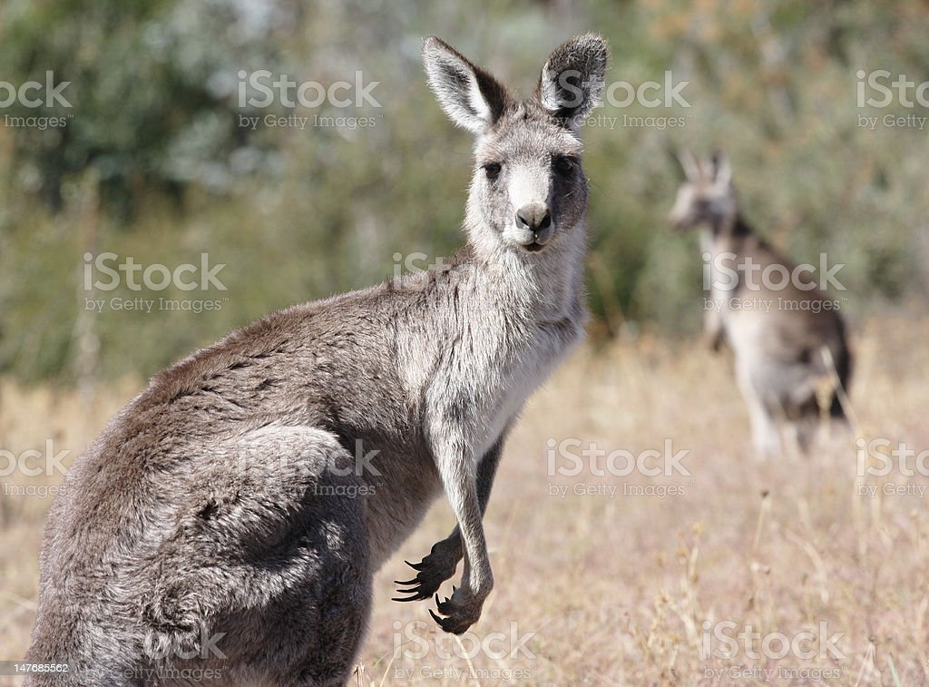 Australian Grey Kangaroo royalty-free stock photo