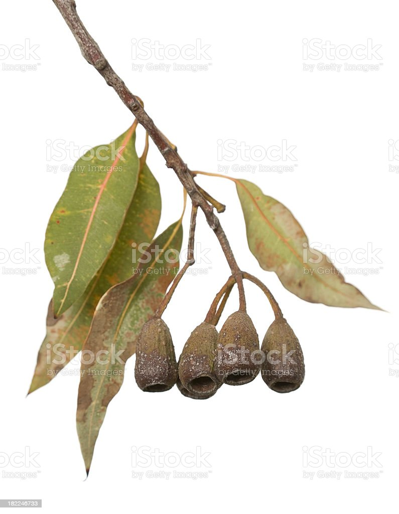 Australian Gum Tree stock photo