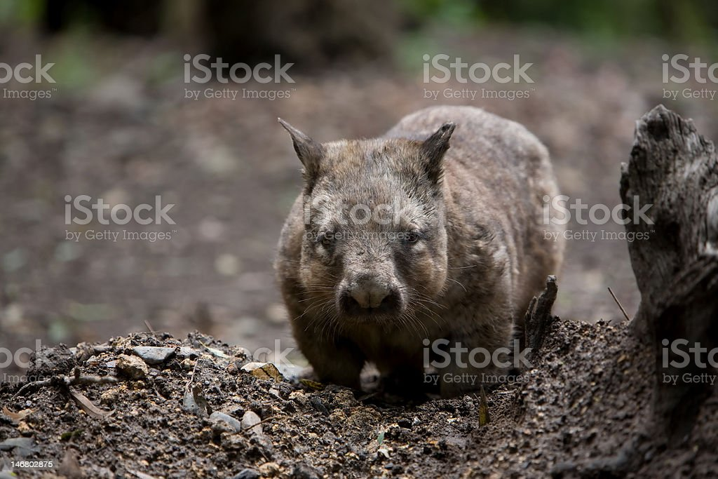 Australian Hairy Nosed Wombat stock photo