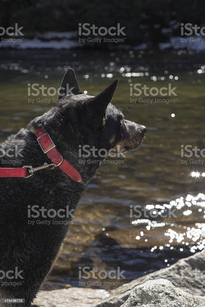 Australian Heeler head stock photo