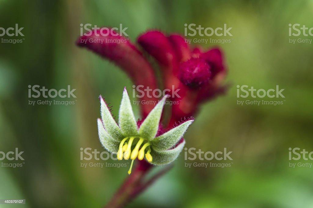 australian kangaroo paw flower in the bush royalty-free stock photo